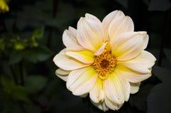 Flor rusa Fotos de archivo