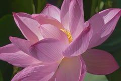 Flor sagrado dos lótus Foto de Stock