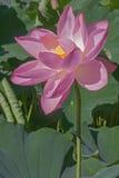 Flor sagrado dos lótus Imagens de Stock Royalty Free