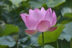 Flor sagrado dos lótus Fotografia de Stock