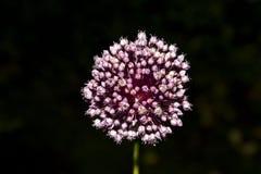 Flor salvaje Foto de archivo libre de regalías