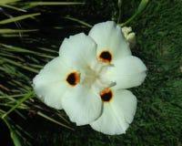 Flor salvaje amarilla del iris Fotos de archivo