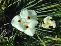 Flor salvaje amarilla del iris Imagenes de archivo