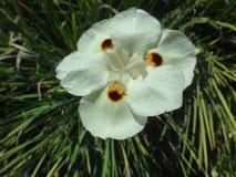 Flor salvaje amarilla del iris Imagen de archivo