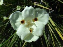 Flor salvaje amarilla del iris Imagen de archivo libre de regalías