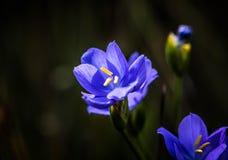 Flor salvaje Australia del oeste del lirio púrpura Imagenes de archivo