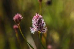 Flor salvaje Australia del oeste del rosa y blanca Fotografía de archivo libre de regalías