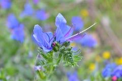 Flor salvaje azul Imagen de archivo libre de regalías