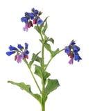 Flor salvaje azul marino y roja aislada en blanco foto de archivo