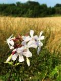 Flor salvaje blanca del campo Imagen de archivo libre de regalías