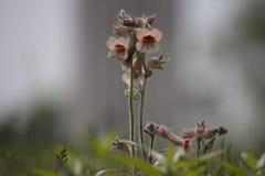 Flor salvaje china Imagen de archivo libre de regalías