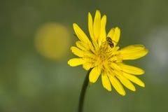 Flor salvaje con la abeja en un prado verde durante verano Imagen de archivo