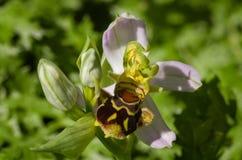 Flor salvaje con las anteras triples - apifera de la orquídea de abeja del Ophrys Fotos de archivo