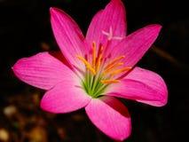 Flor salvaje con pólenes largos, color rosado, Sri Lanka fotos de archivo