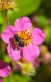 Flor salvaje con una abeja Fotografía de archivo libre de regalías