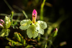 Flor salvaje costera amarillo claro Australia del oeste Imagen de archivo libre de regalías