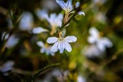 Flor salvaje costera Australia del oeste del fanflower azul claro Foto de archivo