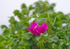 Flor salvaje de la cadera color de rosa en naturaleza Imagen de archivo libre de regalías
