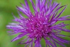 Flor salvaje de la lila del jacea del Centaurea en fondo verde fotografía de archivo