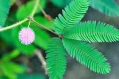 Flor salvaje de la mimosa de Pudica Imagen de archivo libre de regalías