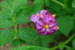 Flor salvaje de la montaña Imagenes de archivo