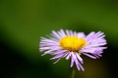 Flor salvaje de la montaña púrpura Foto de archivo