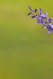 Flor salvaje de la primavera - Bluebonnet Imagen de archivo libre de regalías