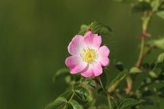 Flor salvaje de la rosa del perro Imagen de archivo