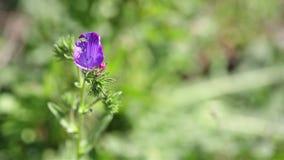 Flor salvaje de la víbora del plantagineum del Echium del bugloss púrpura del ` s en naturaleza metrajes