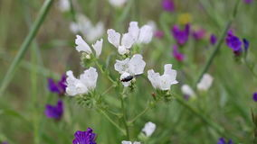 Flor salvaje de la víbora del ` s del bugloss blanco y púrpura del plantagineum del Echium en naturaleza almacen de video