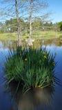 Flor salvaje de Luisiana Foto de archivo libre de regalías