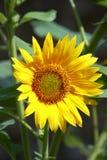 Flor salvaje de Sun Foto de archivo