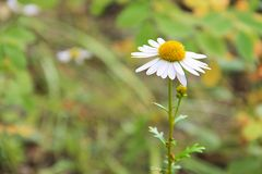 Flor salvaje del bosque de la margarita - manzanilla en un fondo verde borroso La flor está situada en lado derecho Fotos de archivo