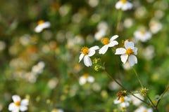 Flor salvaje del crisantemo Imagenes de archivo