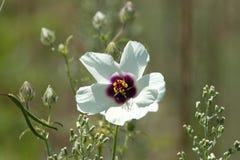 Flor salvaje del hibisco imagen de archivo