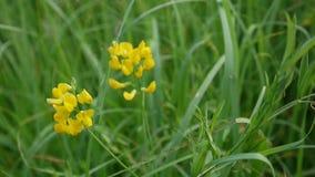 Flor salvaje del prado espeso en el prado Cámara de los parásitos atmosféricos de las imágenes de vídeo de HD Pratensis del Lathy almacen de metraje de vídeo