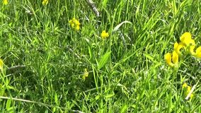 Flor salvaje del prado espeso en el prado Cámara del movimiento del panorama de las imágenes de vídeo de HD Pratensis del Lathyru almacen de video