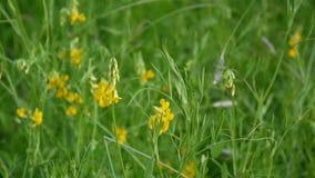 Flor salvaje del prado espeso en el prado Cantidad que tira cierre estático de la cámara para arriba Pratensis del Lathyrus almacen de video