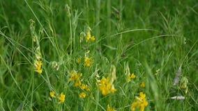 Flor salvaje del prado espeso en el prado Cámara de los parásitos atmosféricos de las imágenes de vídeo de HD Pratensis del Lathy almacen de video