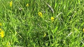 Flor salvaje del prado espeso en el prado Cámara del movimiento de las imágenes de vídeo de HD Pratensis del Lathyrus metrajes