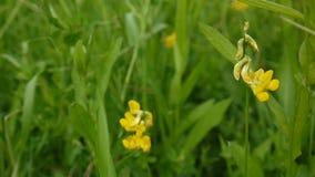Flor salvaje del prado espeso en el prado Cantidad que tira cierre estático de la cámara para arriba Pratensis del Lathyrus almacen de metraje de vídeo