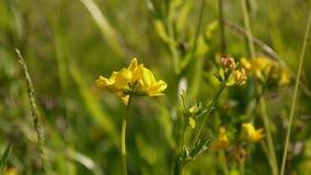 Flor salvaje del prado espeso en el prado Cantidad que tira cierre estático de la cámara para arriba Pratensis del Lathyrus metrajes
