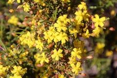 Flor salvaje del ranúnculo de Huegelii del Hibbertia Foto de archivo libre de regalías