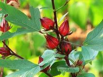 Flor salvaje del roselle Fotografía de archivo