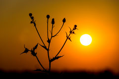 Flor salvaje en fondo de la puesta del sol Fotos de archivo