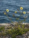 Flor salvaje en la costa Imagenes de archivo