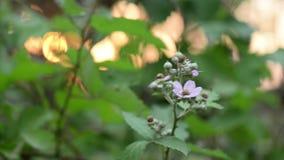 Flor salvaje fantástica de la zarzamora que se mueve con el viento y la puesta del sol en bosque en fondo almacen de metraje de vídeo