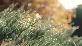 Flor salvaje helada, hierba en rocío de la mañana en el prado, campo, rayos de Sun, rayo de sol a través del claro místico mágico almacen de metraje de vídeo