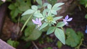Flor salvaje púrpura con la hoja del verde largo en Sri Lanka Fotos de archivo libres de regalías