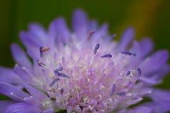 Flor salvaje púrpura en un prado Imágenes de archivo libres de regalías